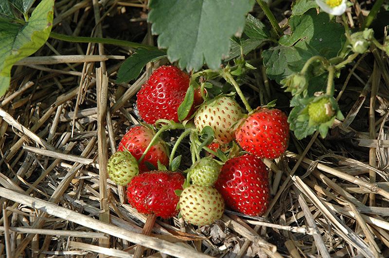 Everbearing Strawberry (Fragaria 'Everbearing') at Pesche's Garden Center