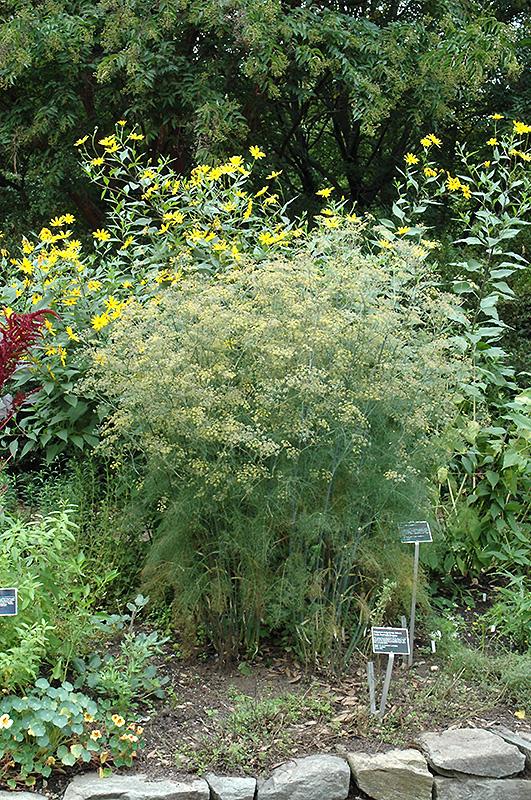 Fennel (Foeniculum vulgare) at Pesche's Garden Center