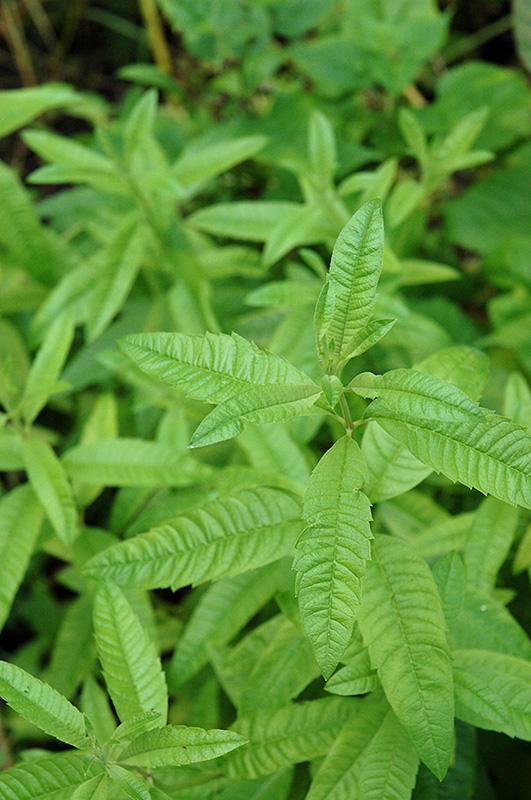Lemon Verbena (Aloysia citrodora) at Pesche's Garden Center