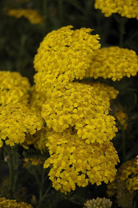 Desert Eve Yellow Yarrow (Achillea millefolium 'Desert Eve Yellow') at Pesche's Garden Center