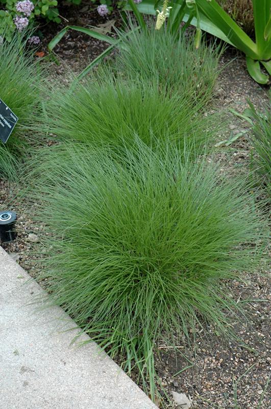 Little Bluestem (Schizachyrium scoparium) at Pesche's Garden Center