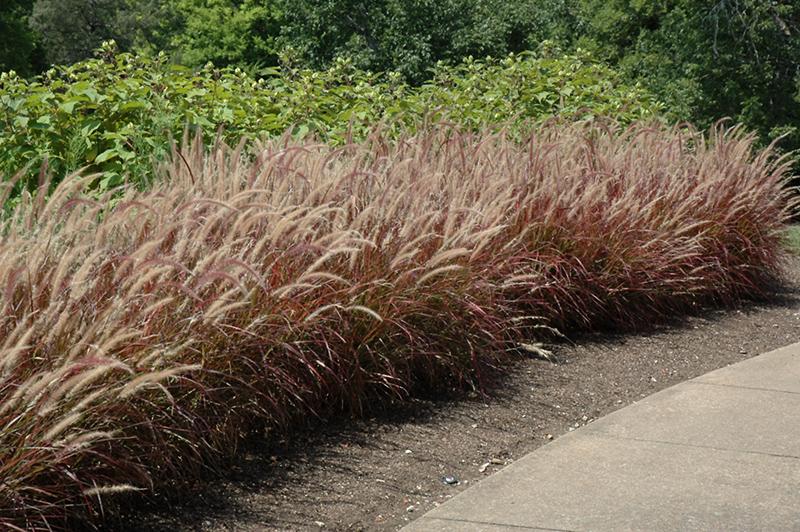 Purple Fountain Grass (Pennisetum setaceum 'Rubrum') at Pesche's Garden Center