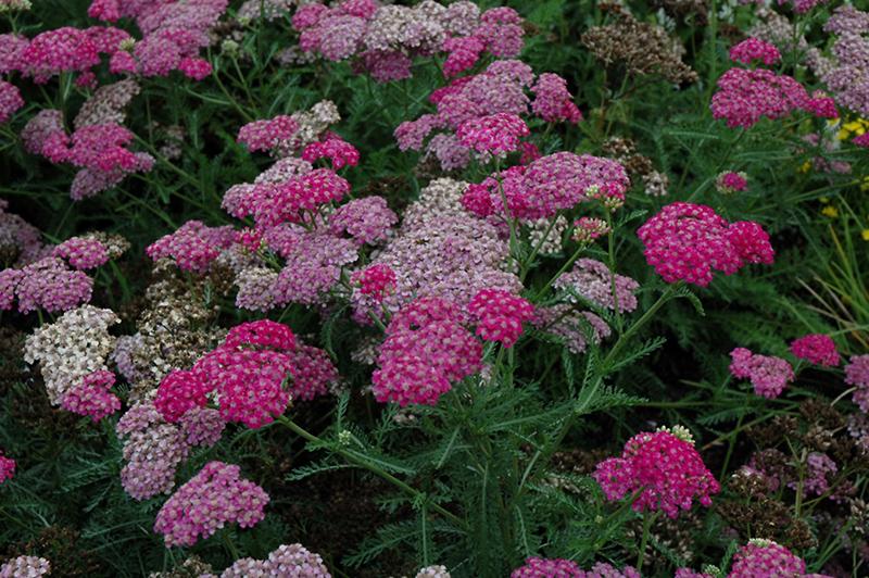 Song Siren Layla Yarrow (Achillea millefolium 'Song Siren Layla') at Pesche's Garden Center
