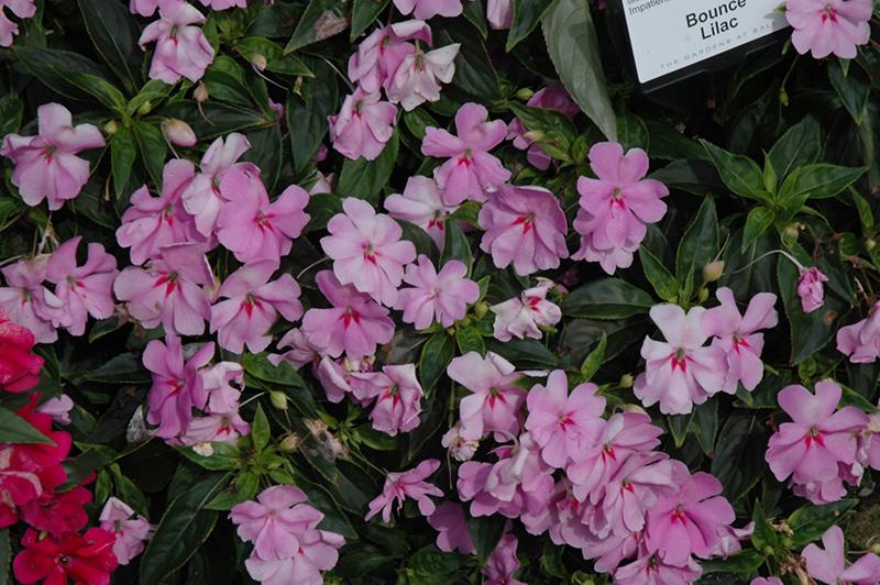 Bounce Lilac Impatiens (Impatiens 'Bounce Lilac') at Pesche's Garden Center