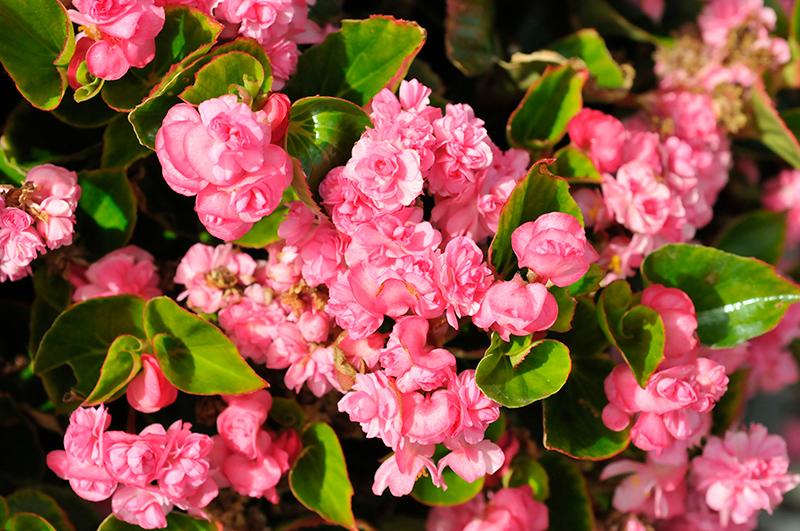 Double Up Pink Begonia (Begonia 'Double Up Pink') at Pesche's Garden Center