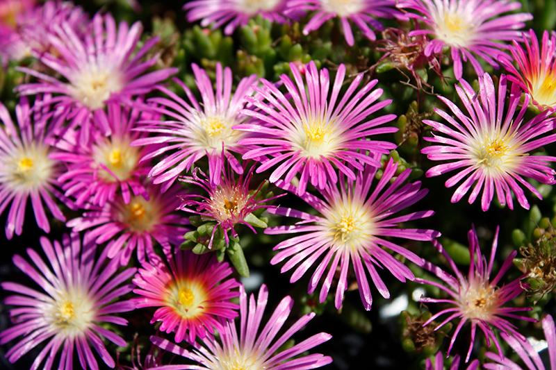 Delmara Pink Ice Plant (Delosperma 'Delmara Pink') at Pesche's Garden Center