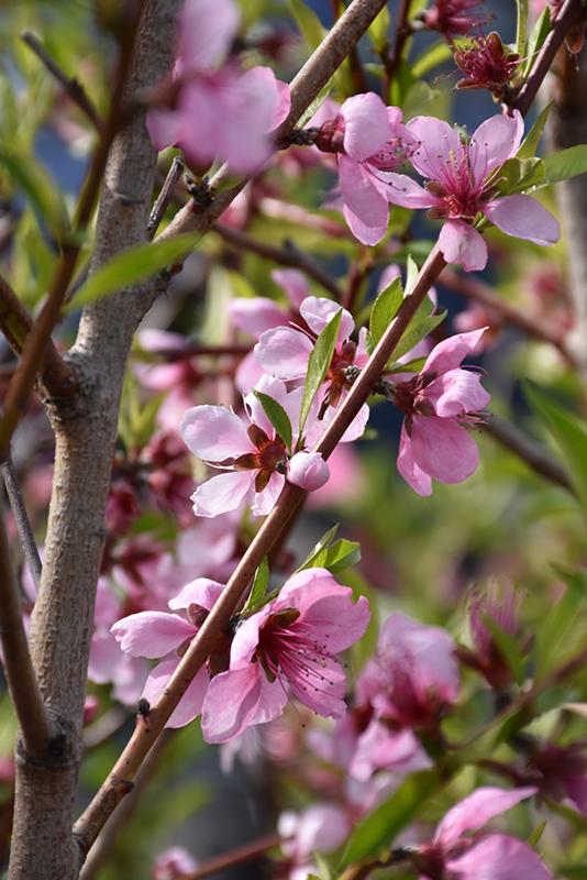 Elberta Peach (Prunus persica 'Elberta') at Pesche's Garden Center
