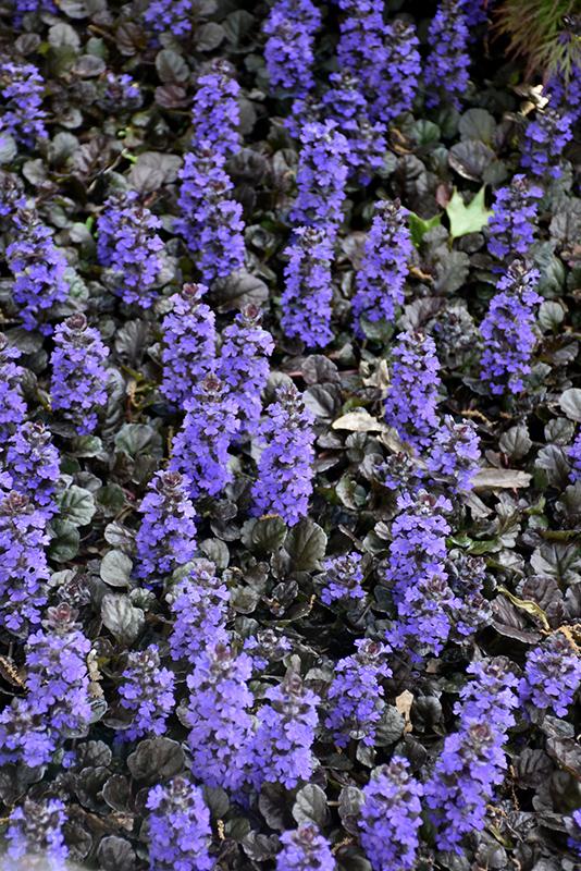 Black Scallop Bugleweed (Ajuga reptans 'Black Scallop') at Pesche's Garden Center