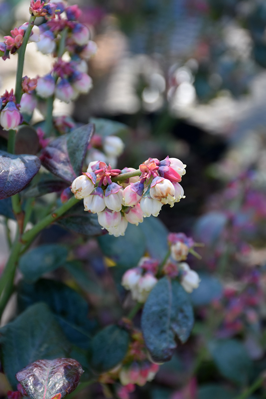 Pink Icing Blueberry (Vaccinium 'ZF06-079') at Pesche's Garden Center