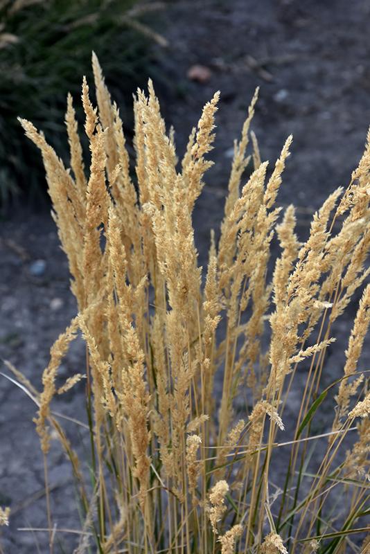 El Dorado Feather Reed Grass (Calamagrostis x acutiflora 'El Dorado') at Pesche's Garden Center