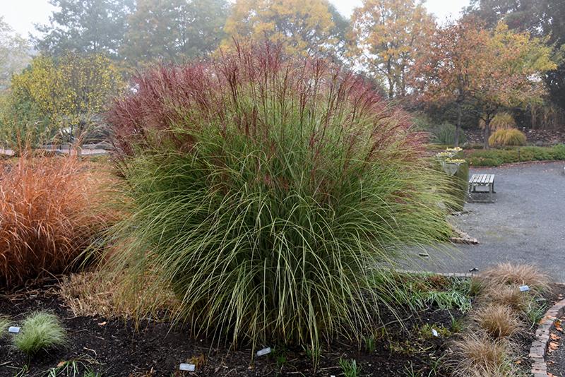 Morning Light Maiden Grass (Miscanthus sinensis 'Morning Light') at Pesche's Garden Center