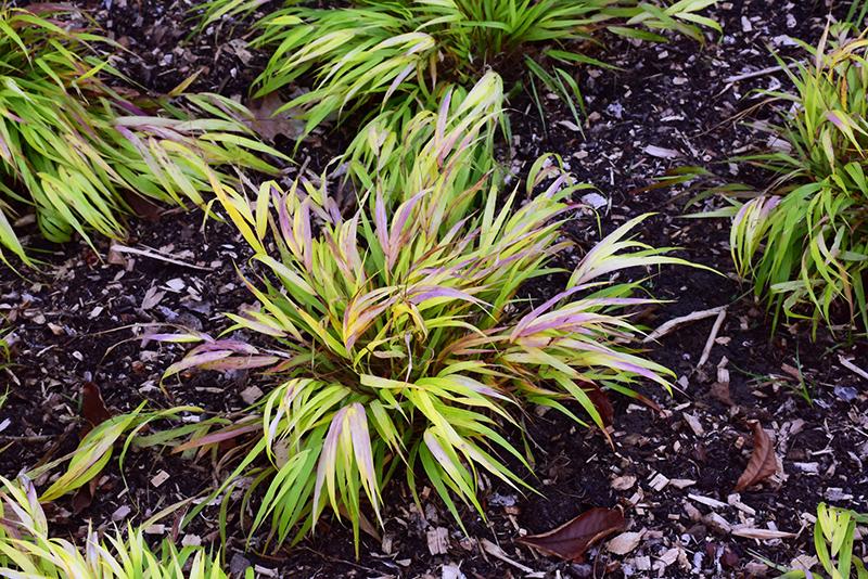 All Gold Hakone Grass (Hakonechloa macra 'All Gold') at Pesche's Garden Center