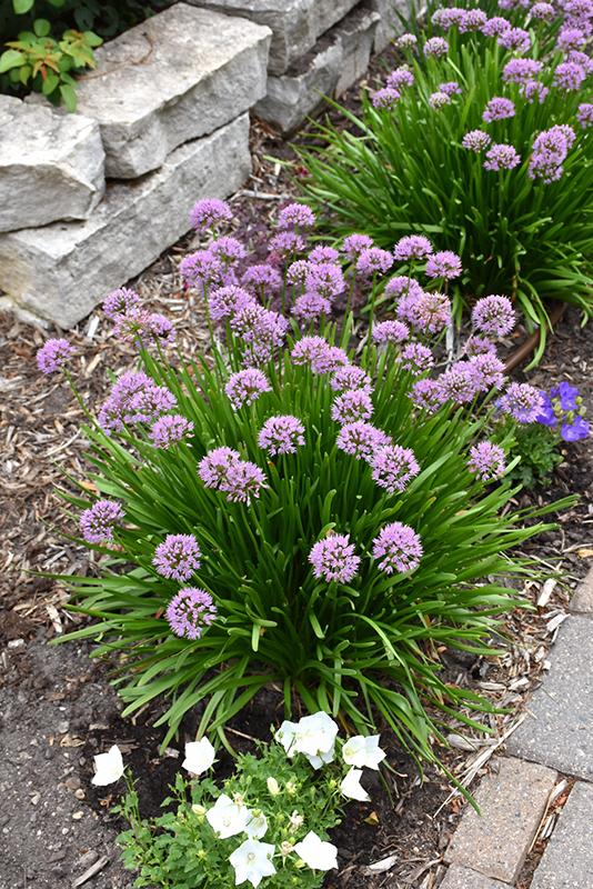 Summer Beauty Ornamental Chives (Allium tanguticum 'Summer Beauty') at Pesche's Garden Center