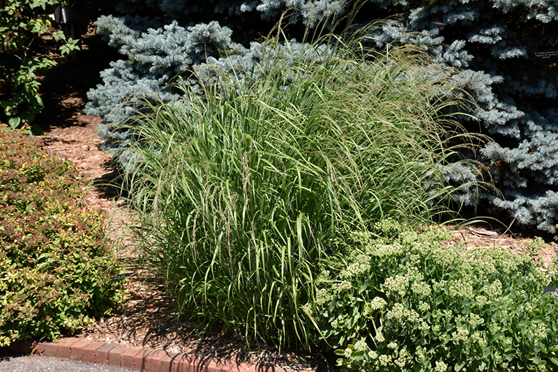 Red Switch Grass (Panicum virgatum 'Rotstrahlbusch') at Pesche's Garden Center