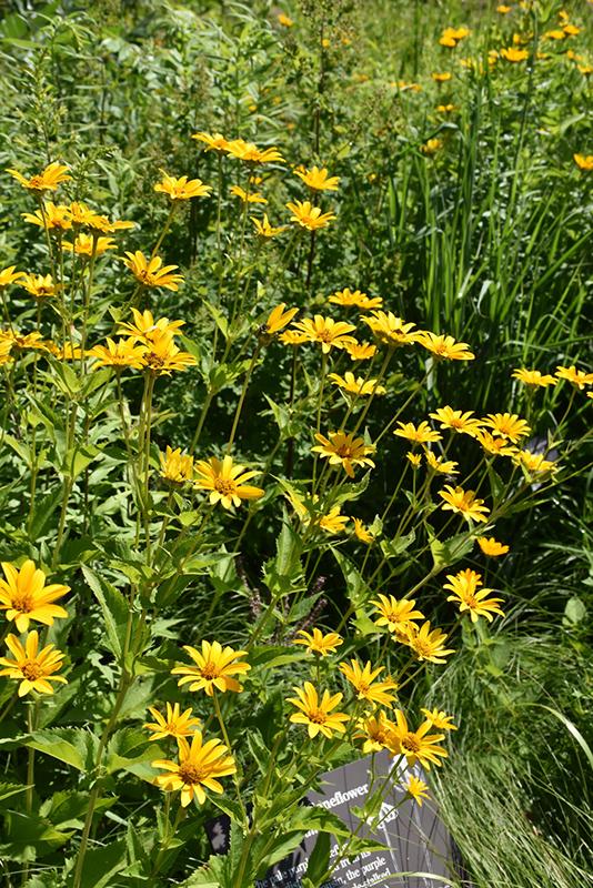 False Sunflower (Heliopsis helianthoides) at Pesche's Garden Center
