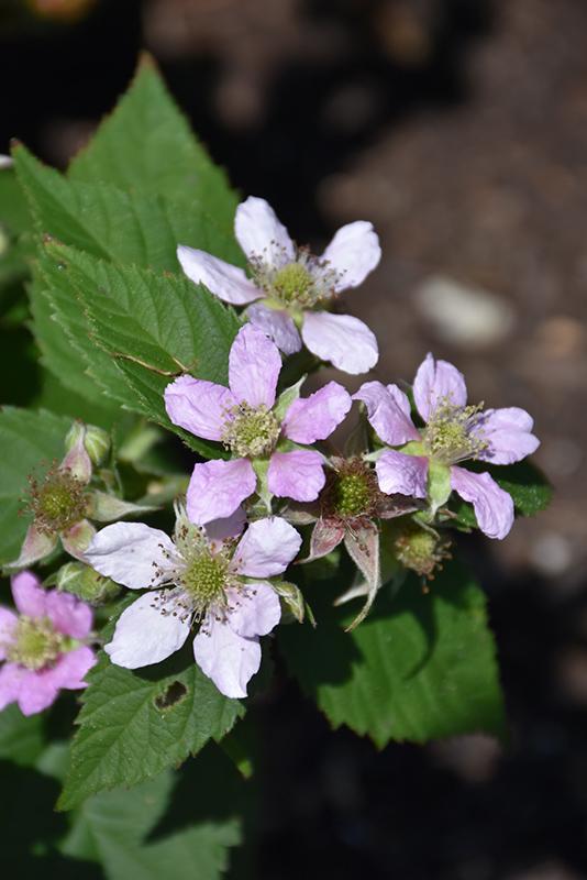 Chester Thornless Blackberry (Rubus 'Chester') at Pesche's Garden Center