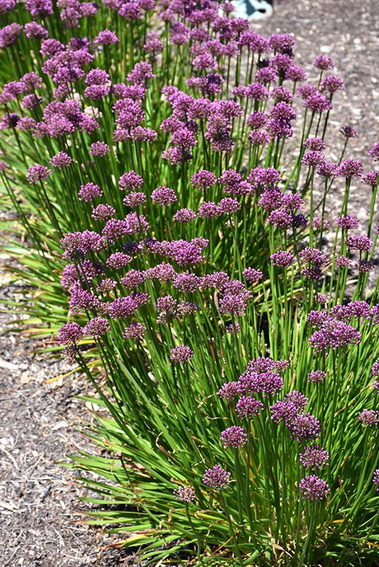 Windy City Ornamental Onion (Allium 'Windy City') at Pesche's Garden Center