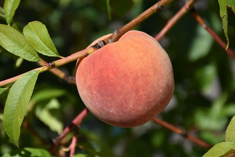 Redhaven Peach (Prunus persica 'Redhaven') at Pesche's Garden Center