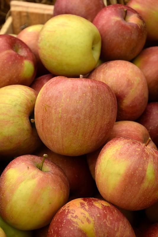 Fuji Apple (Malus 'Fuji') at Pesche's Garden Center