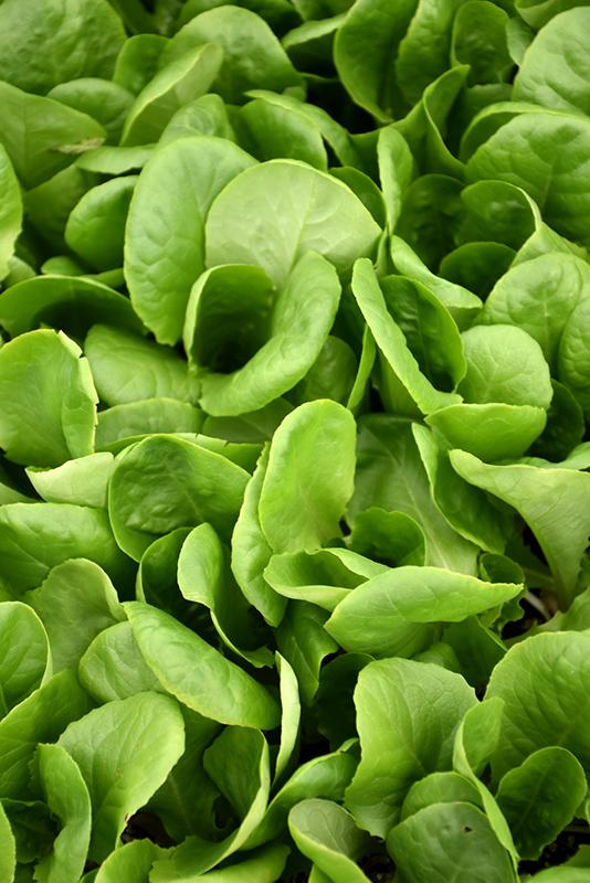Buttercrunch Lettuce (Lactuca sativa var. capitata 'Buttercrunch') at Pesche's Garden Center