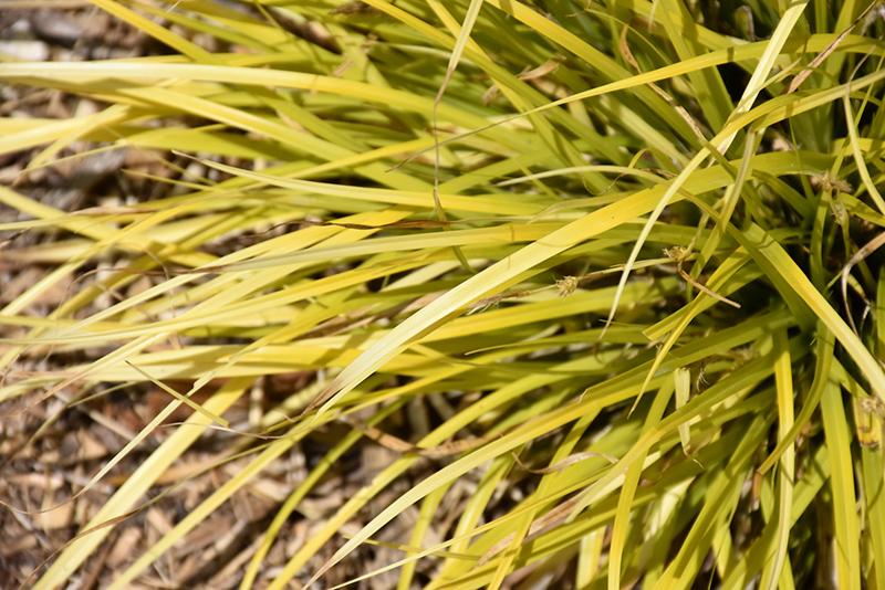 EverColor Everillo Japanese Sedge (Carex oshimensis 'Everillo') at Pesche's Garden Center
