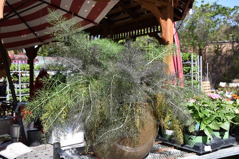 Bronze Fennel (Foeniculum vulgare 'Purpureum') at Pesche's Garden Center
