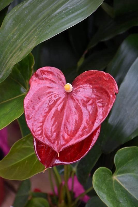 Anthurium (Anthurium andraeanum) at Pesche's Garden Center