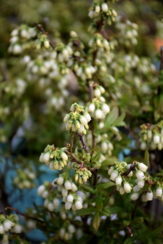 Perpetua Blueberry (Vaccinium 'ORUS-61-1') at Pesche's Garden Center