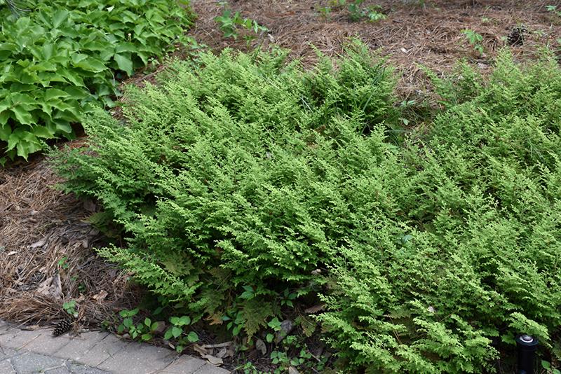 Moss Fern (Selaginella pallescens) at Pesche's Garden Center