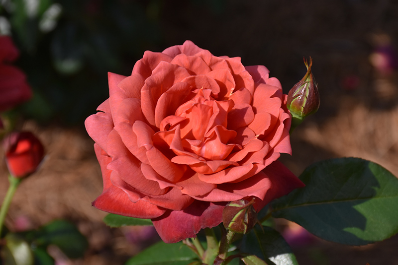 Hot Cocoa Rose (Rosa 'Hot Cocoa') at Pesche's Garden Center