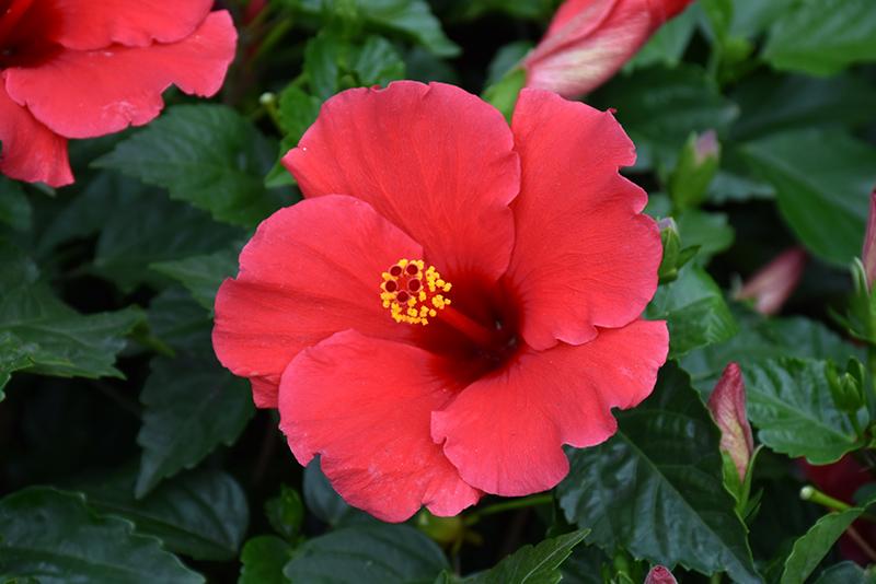 Antigua Wind Hibiscus (Hibiscus rosa-sinensis 'Antigua Wind') at Pesche's Garden Center