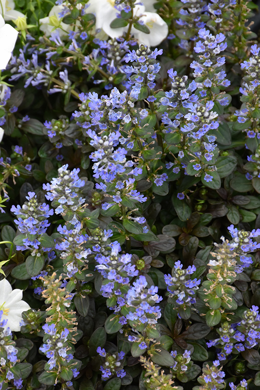 Chocolate Chip Bugleweed (Ajuga reptans 'Chocolate Chip') at Pesche's Garden Center