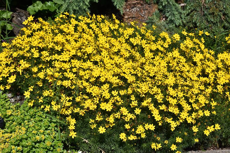 Zagreb Tickseed (Coreopsis verticillata 'Zagreb') at Pesche's Garden Center