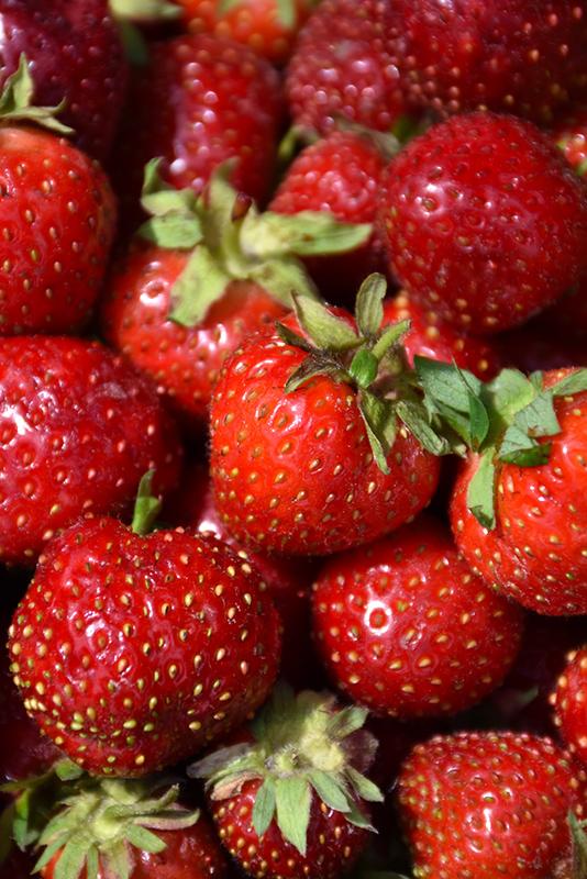 Quinault Strawberry (Fragaria 'Quinault') at Pesche's Garden Center