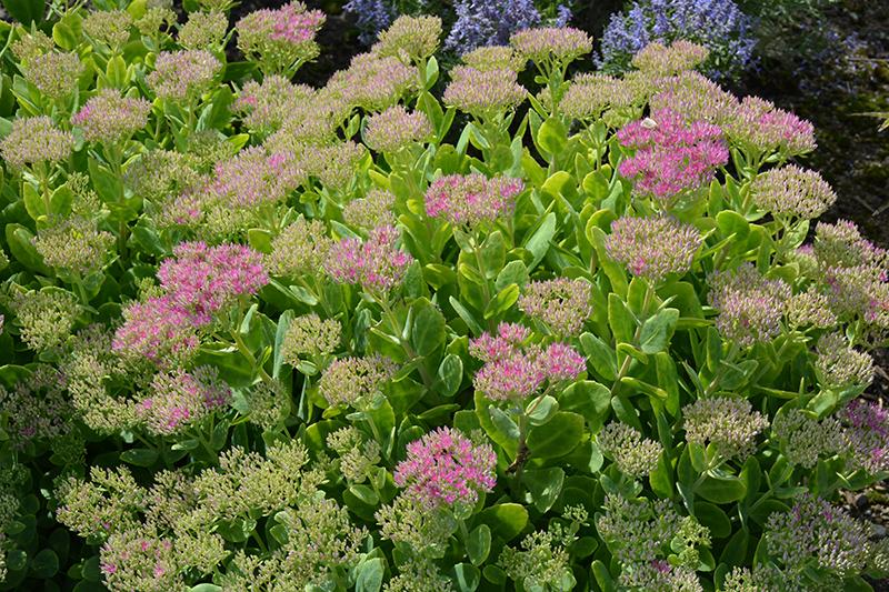 Neon Stonecrop (Sedum spectabile 'Neon') at Pesche's Garden Center