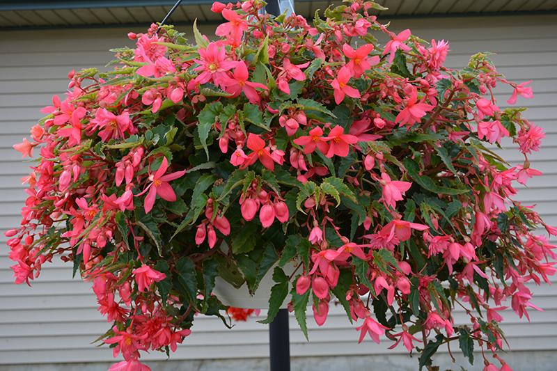 Funky Pink Begonia (Begonia 'Funky Pink') at Pesche's Garden Center