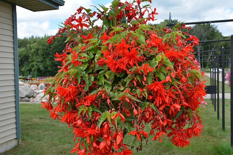 Funky Orange Begonia (Begonia 'Funky Orange') at Pesche's Garden Center