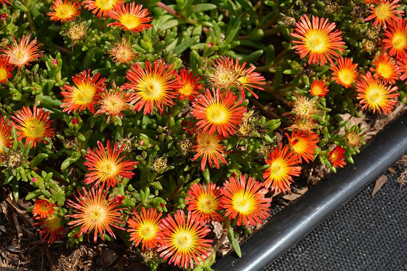 Delmara Red Ice Plant (Delosperma 'Delmara Red') at Pesche's Garden Center