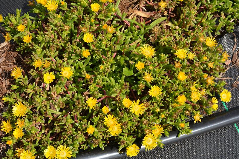 Delmara Yellow Ice Plant (Delosperma 'Delmara Yellow') at Pesche's Garden Center