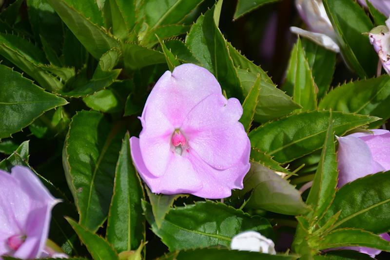 SunPatiens Compact Orchid Blush Impatiens (Impatiens 'SAKIMP041') at Pesche's Garden Center