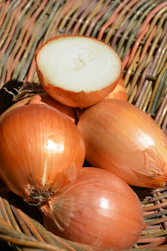 Yellow Onion (Allium cepa 'Yellow') at Pesche's Garden Center