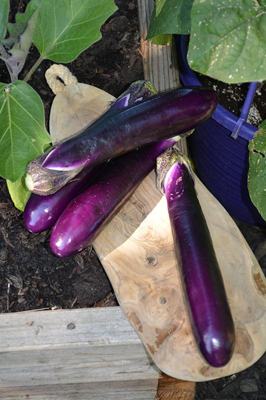 Millionaire Eggplant (Solanum melongena 'Millionaire') at Pesche's Garden Center