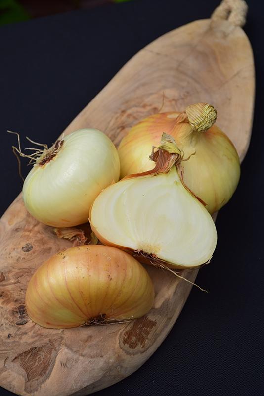 Vidalia Onion (Allium cepa 'Vidalia') at Pesche's Garden Center